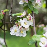 Άνθη της Apple την άνοιξη σε πράσινο Στοκ εικόνες με δικαίωμα ελεύθερης χρήσης