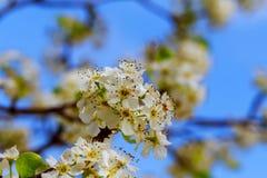 Άνθη της Apple την άνοιξη στο άσπρο υπόβαθρο Στοκ εικόνα με δικαίωμα ελεύθερης χρήσης