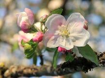 Άνθη της Apple την άνοιξη ως υπόβαθρο Στοκ Φωτογραφίες