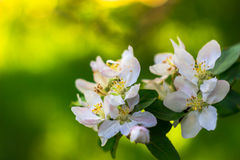 Άνθη της Apple την άνοιξη ως υπόβαθρο Στοκ εικόνα με δικαίωμα ελεύθερης χρήσης