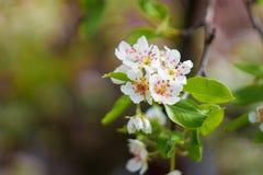 Άνθη της Apple την άνοιξη ως υπόβαθρο Στοκ Εικόνα