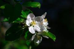 Άνθη της Apple την άνοιξη ως υπόβαθρο Στοκ φωτογραφία με δικαίωμα ελεύθερης χρήσης