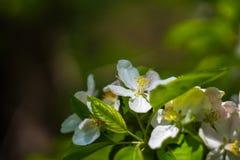 Άνθη της Apple την άνοιξη ως υπόβαθρο Στοκ Φωτογραφία