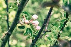 Άνθη της Apple την πρώιμη άνοιξη στο νέο δέντρο της Apple Στοκ εικόνες με δικαίωμα ελεύθερης χρήσης