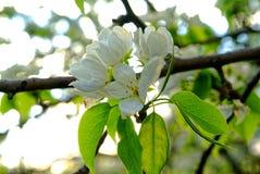 Άνθη της Apple την πρώιμη άνοιξη στο νέο δέντρο της Apple Στοκ Εικόνες