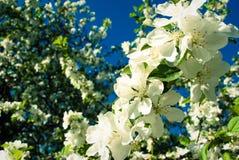 Άνθη της Apple, φυσικό υπόβαθρο, λουλούδια Μήλο λουλουδιών άνοιξη Στοκ φωτογραφία με δικαίωμα ελεύθερης χρήσης