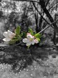 Άνθη της Apple ως εστίαση Στοκ Φωτογραφία