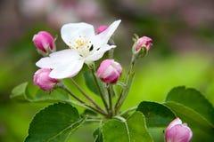 Άνθη της Apple ως στενή επάνω μακροεντολή υποβάθρου Στοκ Εικόνες