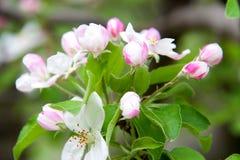 Άνθη της Apple ως στενή επάνω μακροεντολή υποβάθρου Στοκ εικόνα με δικαίωμα ελεύθερης χρήσης