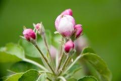 Άνθη της Apple ως στενή επάνω μακροεντολή υποβάθρου Στοκ Φωτογραφίες