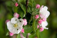 Άνθη της Apple ως στενή επάνω μακροεντολή υποβάθρου Στοκ εικόνες με δικαίωμα ελεύθερης χρήσης