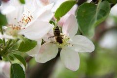 Άνθη της Apple ως στενή επάνω μακροεντολή υποβάθρου Στοκ φωτογραφία με δικαίωμα ελεύθερης χρήσης