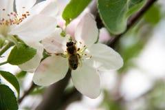 Άνθη της Apple ως στενή επάνω μακροεντολή υποβάθρου Στοκ Εικόνα