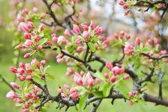 Άνθη της Apple Στοκ Εικόνες