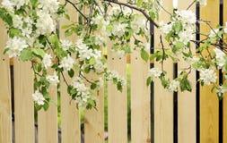 Άνθη της Apple Στοκ Φωτογραφίες