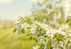 Άνθη της Apple Στοκ φωτογραφία με δικαίωμα ελεύθερης χρήσης