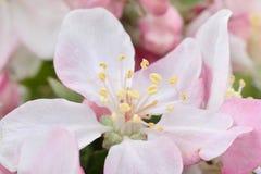Άνθη της Apple Στοκ φωτογραφίες με δικαίωμα ελεύθερης χρήσης