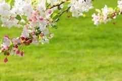 Άνθη της Apple Στοκ Εικόνα