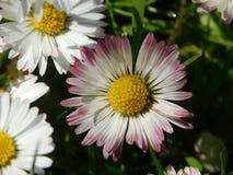 Άνθη της Daisy Στοκ φωτογραφία με δικαίωμα ελεύθερης χρήσης