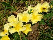 Άνθη της Rosa Hugonis και μέλισσα Στοκ Φωτογραφία
