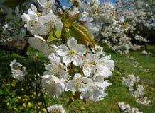 Άνθη του δέντρου κερασιών στοκ εικόνα με δικαίωμα ελεύθερης χρήσης