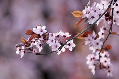 Άνθη του ιαπωνικού δέντρου κερασιών Στοκ εικόνα με δικαίωμα ελεύθερης χρήσης