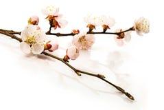 Άνθη υποβάθρου .apricot στην κινηματογράφηση σε πρώτο πλάνο Στοκ Φωτογραφία
