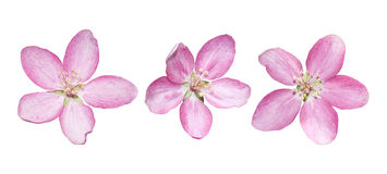 Άνθη Apple-δέντρων άνοιξη Στοκ Εικόνες
