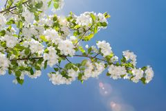 Άνθη Crabapple ενάντια σε έναν μπλε ουρανό στοκ φωτογραφία με δικαίωμα ελεύθερης χρήσης