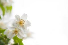 Άνθη jasmine σε ένα άσπρο υπόβαθρο Στοκ Εικόνα