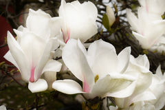 Άνθη Magnolia Στοκ εικόνα με δικαίωμα ελεύθερης χρήσης