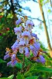 Άνθη Paulownia στον κήπο Στοκ Εικόνες