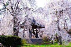 Άνθη Sakura ή κερασιών της Ιαπωνίας, στην πλευρά του ναού Στοκ Εικόνες