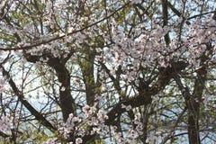 Άνθη Sakura, δέντρα sakura Στοκ Εικόνες