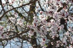 Άνθη Sakura, δέντρα sakura Στοκ Φωτογραφίες