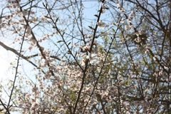 Άνθη Sakura, δέντρα sakura Στοκ φωτογραφίες με δικαίωμα ελεύθερης χρήσης