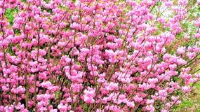 Άνθη Sakura στους κήπους από τον κόλπο Στοκ εικόνες με δικαίωμα ελεύθερης χρήσης