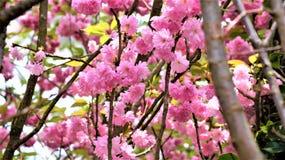 Άνθη Sakura στους κήπους από τον κόλπο Στοκ Εικόνες
