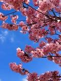 Άνθη Sakura στοκ φωτογραφία