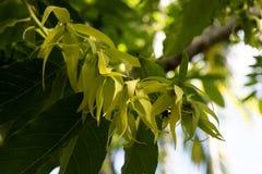 Άνθη Ylang Ylang σε έναν κλάδο Στοκ Εικόνες