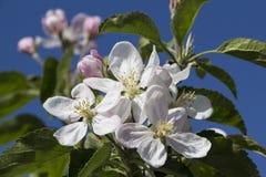 Άνθιση άνοιξη, κινηματογράφηση σε πρώτο πλάνο λουλουδιών δέντρων μηλιάς με το μαλακό υπόβαθρο Στοκ εικόνες με δικαίωμα ελεύθερης χρήσης
