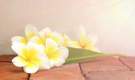 Άνθιση άσπρα λουλούδια Plumeria ή Frangipani και πράσινο φύλλο επάνω Στοκ Φωτογραφίες