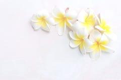 Άνθιση άσπρα λουλούδια Plumeria ή Frangipani στο άσπρο πάτωμα Στοκ Εικόνες