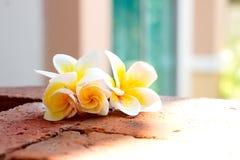 Άνθιση άσπρα λουλούδια Plumeria ή Frangipani στο πάτωμα τούβλου Στοκ Φωτογραφίες