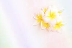 Άνθιση άσπρα λουλούδια Plumeria ή Frangipani Στοκ φωτογραφία με δικαίωμα ελεύθερης χρήσης