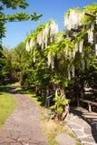 Άνθιση άσπρο Wisteria στον ιαπωνικό κήπο στην Πράγα, κάθετη Στοκ Εικόνες