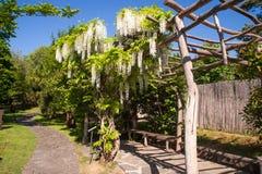 Άνθιση άσπρο Wisteria στον ιαπωνικό κήπο στην Πράγα Στοκ Φωτογραφίες