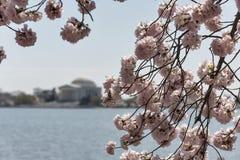 Άνθιση δέντρων κερασιών στην Ουάσιγκτον, συνεχές ρεύμα Στοκ εικόνες με δικαίωμα ελεύθερης χρήσης