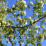 Άνθιση δέντρων της Apple Κλάδοι με τα όμορφα άσπρα λουλούδια Στοκ φωτογραφίες με δικαίωμα ελεύθερης χρήσης