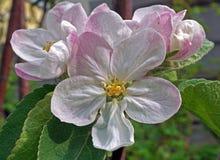Άνθιση δέντρων της Apple στον κήπο Στοκ εικόνες με δικαίωμα ελεύθερης χρήσης